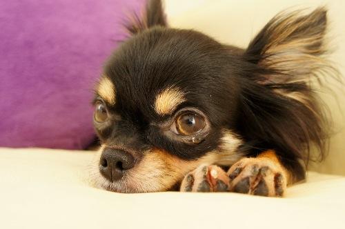 Resultado de imagen para 犬 chihuahua 悲しい